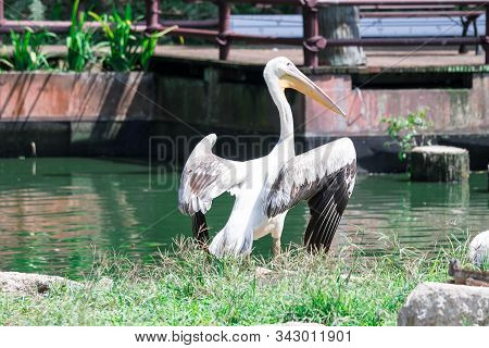 Great White Pelican (pelecanus Onocrotalus) Aka The Eastern White Pelican, Rosy Pelican Or White Pel