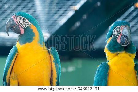 A Flock Of Blue-and-yellow Macaw (ara Ararauna) South American Parrot Native To Venezuela, Peru, Bra