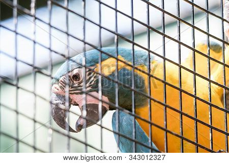 Blue-and-yellow Macaw Or Blue-and-gold Macaw, Ara Ararauna, Bird Of The Psittacidae Family And One O
