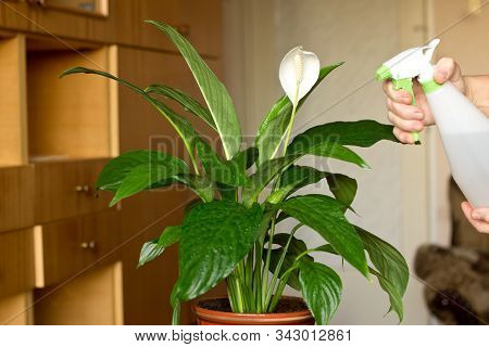 Female Hands Spraying Leaves Of A Indoor Flower Spathiphyllum
