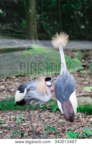 A Grey Crowned Crane, Also Known As The African Crowned Crane, Golden Crested Crane, Golden Crowned