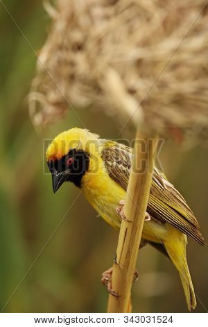 The Southern Masked Weaver Or African Masked Weaver (ploceus Velatus) Sitting In The Grass And Build