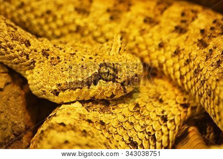 Close up shot of a curled up sidewinder (Crotalus cerastes), a venomous pitviper snake, also known as the horned rattlesnake and sidewinder rattlesnake. Species found in the desert regions of the southwestern United States and northwestern Mexico. Mesmeri