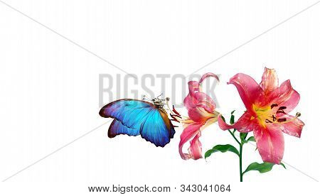Bright Blue Tropical Morpho Butterfly On Pink Lily Flowers. Butterfly And Flowers Isolated On White.