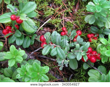 Lingonberries Growing Wild In Boreal Forest, Close Up. Evergreen Shrub With Red Edible Fruit Or Berr