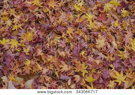 The Spring Of The Maple Leaf On The Nature Background