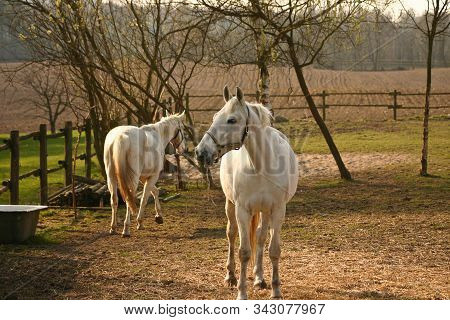 Horses Portrait Head In Denmark Scandinavia