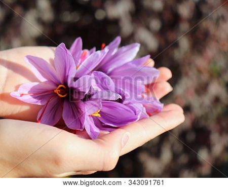 Closeup Of A Palms Of A Young Girl, Collects Crocus Sativus, Commonly Known As Saffron Crocus, Or Au