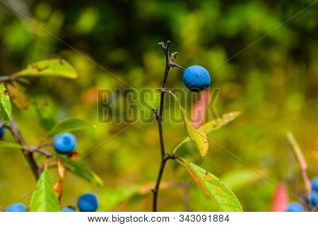 Berries Of Blackthorn Bush In Forest On Summer