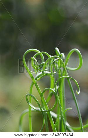 Corkscrew Albuca Frizzle Sizzle - Latin Name - Albuca Spiralis Frizzle Sizzle