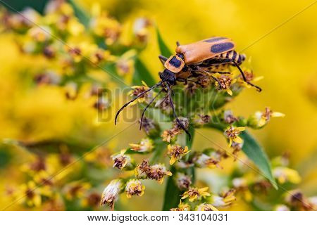 Goldenrod Soldier Beetle Insects On Fresh Yellow Flowers