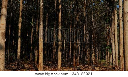 Dense Teak Forest, Young Teak Trees With Brown Background