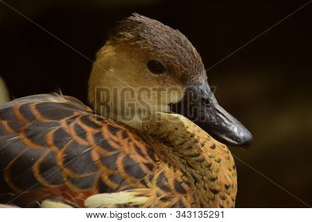 Dendrocygna - The Whistling Ducks Or Tree Ducks, Close Up Details Of Whistling Ducks, Whistling Duck