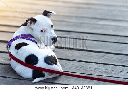 Young American Staffordshire Terrier (canis Lupus Familiaris) Lying On Wooden Boards. Cute Black And