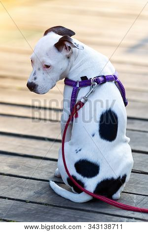 Young American Staffordshire Terrier (canis Lupus Familiaris) Sitting On Wooden Boards. Cute Black A