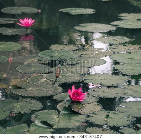 Waterlily Flower On The Pond In Spring Time