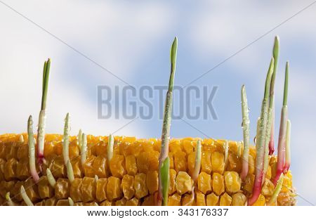 Closeup Of New Sprouts In Old Maize Corncob On Farm Field In Spring, Renaissance Concept