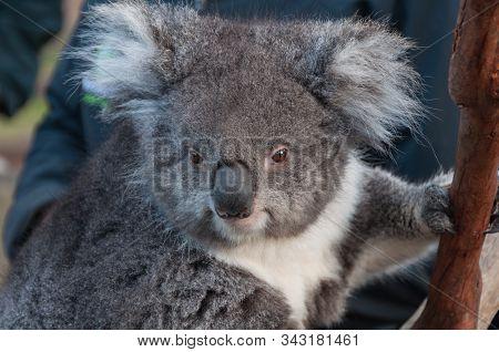 Close Up Of Cute Koala Bear Animal On A Eucalyptus Tree. Australian Native Wildlife Endangered Speci