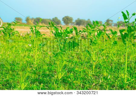 Beautiful Mustered Plants With Their Colourful Leaves In A Field,punjab,pakistan.
