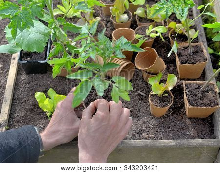 Seedlings In Peat Pots In A Little Square Vegetable Garden Holding By A Gardener