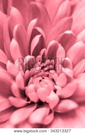 Retro Art, Vintage Card And Botanical Concept - Abstract Floral Background, Pink Chrysanthemum Flowe