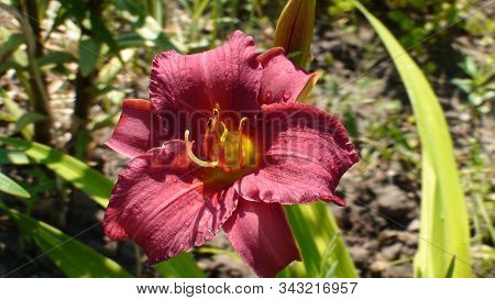 Purple Flowers Of Day-lily In A Garden. The Language Of The Flower Is Coquetry. Purple Hemerocallis