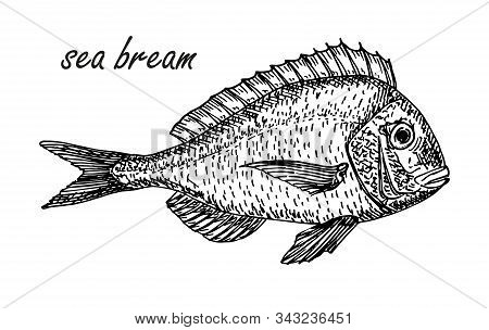Vector Sea Bream Element In Sketch Style. Hand Drawn Carp Sketch Symbol. Fish Vintage Engraved Vecto
