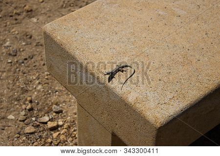 Mediterranean Lizard With A Shadow On A Stone Bench, Summertime, The Valle Dei Templi, Agrigento, Si