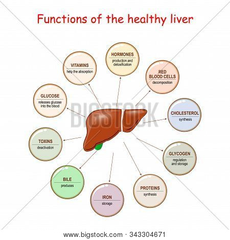 Functions Of The Healthy Liver. Liver And Metabolism Including Synthesis Protein And Cholesterol, Pr