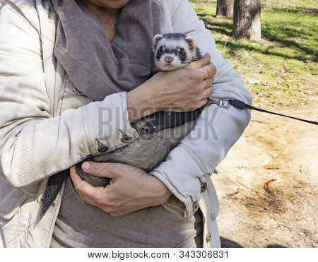 Domestic Cute Pet, Ferret On A Leash Sitting In The Hands Of The Hostess. Cute Fluffy Ferret In The