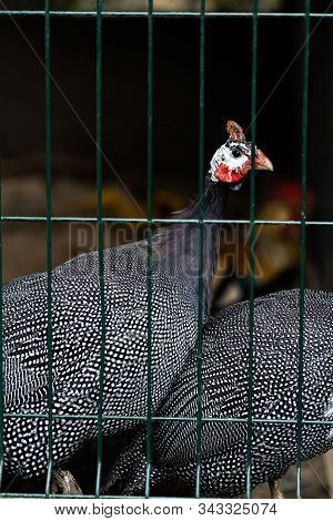 Beautiful Guinea Fowl Bird Or Helmeted Guinea Fowl With White Spotted Feathers. Helmeted Guineafowl,