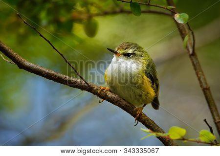Acanthisitta Chloris - Rifleman - Titipounamu Female - Endemic Bird From New Zealand, Small Insectiv