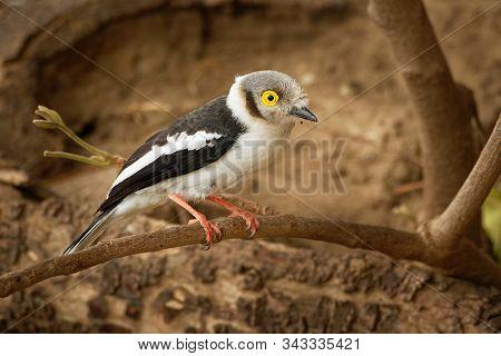 White-crested Helmetshrike - Prionops Plumatus Or White Helmetshrike, Passerine Bird In The Family P