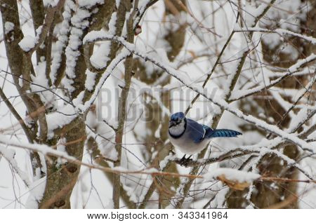 A Blue Jay Perched On A Tree Branch In Winter
