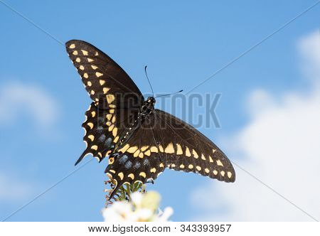 Dorsal view of an Eastern Black Swallowtail butterfly on a white Butterfly Bush, against partly cloudy skies
