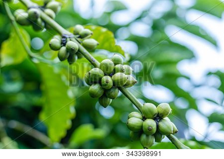 Coffee Plant. Coffee Beans Growing On A Branch Of Coffee Tree. Close Up Branch Of A Coffee Tree With