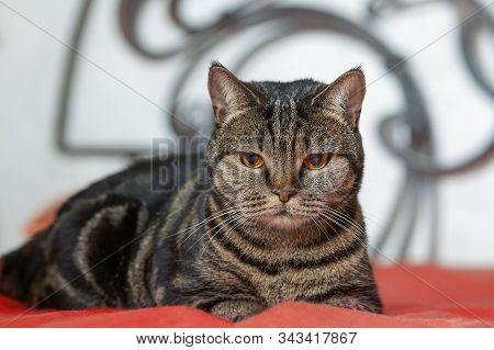 British Short Hair Cat With Bright Yellow Eyes And Serious Look Lies On Red Cover. Tabby Color Pureb