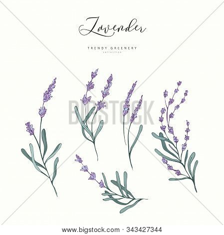 Floral Lavender Branch. Hand Drawn Wedding Herb, Plant Elegant Leaves For Invitation Save The Date C