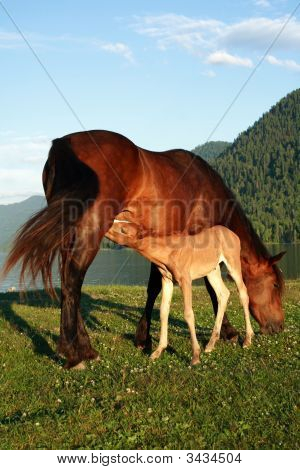 Foal With Mum A Horse