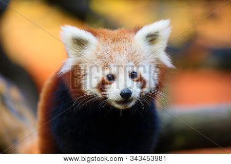 The Red Panda (ailurus Fulgens) , Fire Fox Or Lesser Panda, The Red Bear-cat, And The Red Cat-bear,