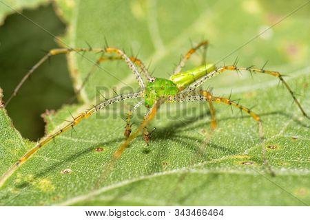Male Green Lynx spider on a Sunflower leaf