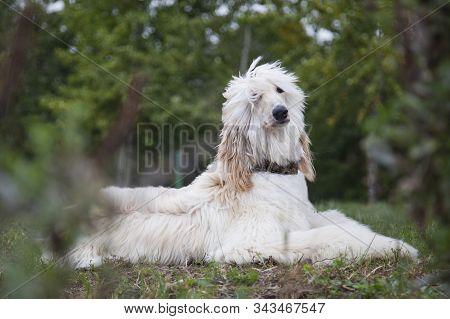 Afghan Hound Dog Lies Among Nature