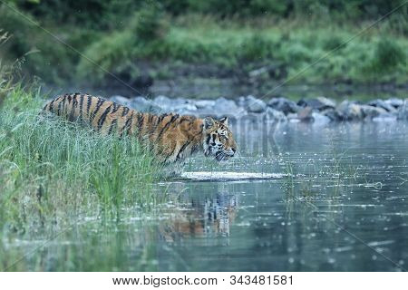 Siberian Tiger Is A Panthera Tigris Population In The Far East