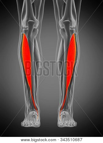 3d rendered medically accurate muscle anatomy illustration - tibialis anterior