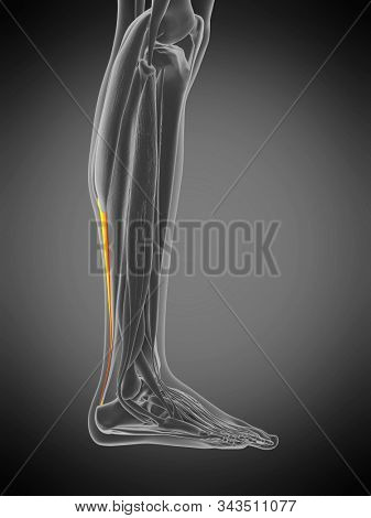 3d rendered medically accurate muscle anatomy illustration - achilles tendon