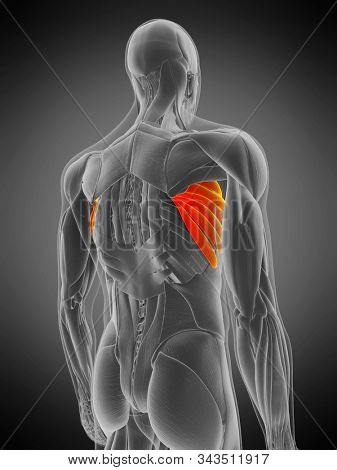 3d rendered medically accurate muscle anatomy illustration - serratus anterior
