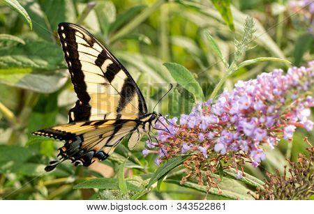 Eastern Tiger Swallowtail butterfly feeding on light violet Butterflybush flowers