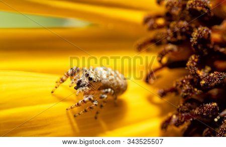 Tiny little Peppered Jumper on a Sunflower petal in summer sun