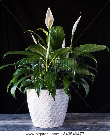 Peace Lily In White Flower Pot On Wood With Black Background. Spathiphyllum Houseplant For Valentine