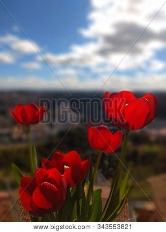 Tulipas Na Janela Tomando Sol, Lindas Flores Que Representam O Amor Verdadeiro
